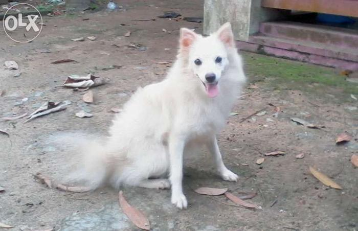 0 Months Old Pomeranian Female Dog Trivandrum For Sale In