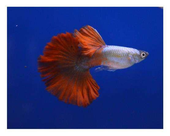 10 Varieties imported Guppy Breeding Pair Available New Stock for