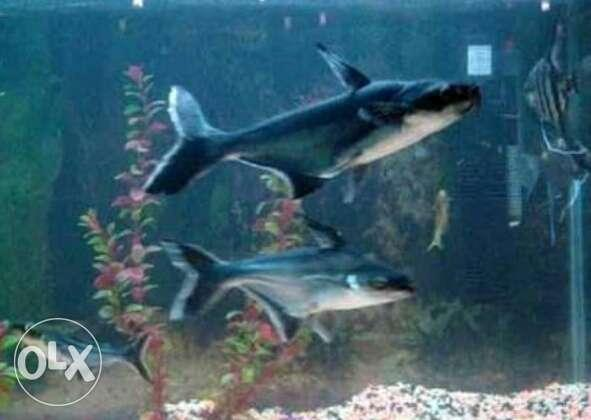 4shark 7 to 8 inch shark fish with big size filter with for