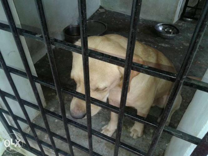 9months old high pedigree labrador dog for sale.male..