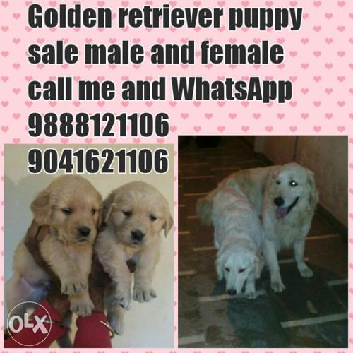 All pups available in jalandhar city pure breed dogs