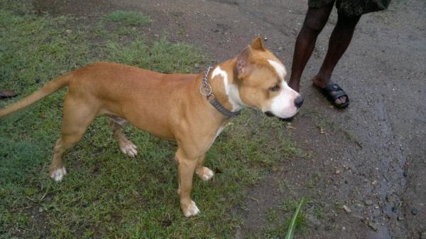 American Pitbull Puppies For Sale, Coimbatore for Sale in