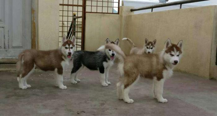 Awesome Quality Siberian Husky Puppies Are Available At Best Price