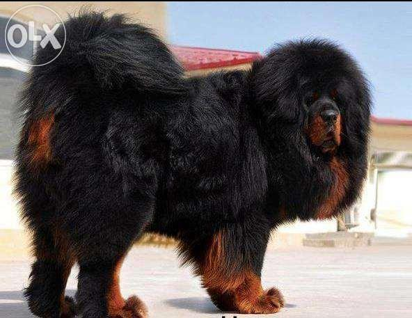 Best and good quality Tibetan Mastiff Pups for cal for Sale
