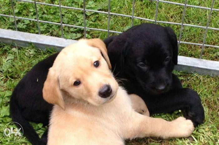 Black-and-yellow Labrador Retriever Puppies for sell in