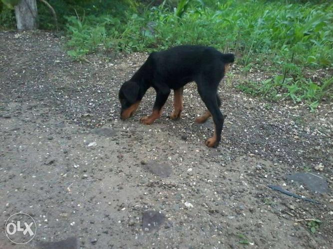 Black And Tan German Pinscher Puppy