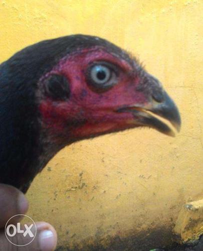 Black aseel hen for sale for Sale in Poonamallee, Tamil Nadu