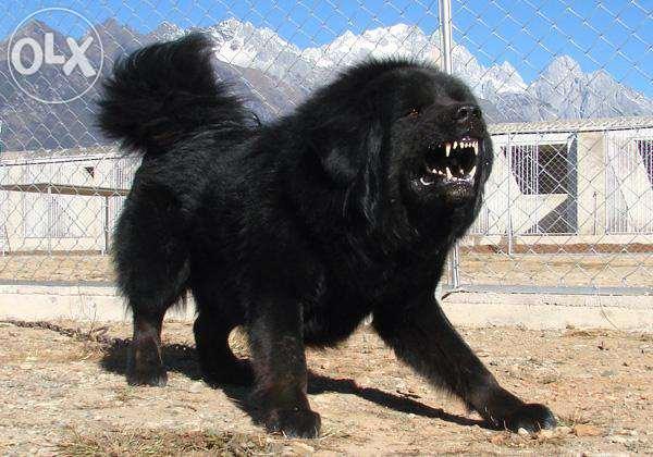 Black tibetan mastiff puppy available for Sale in Ahmedabad, Gujarat