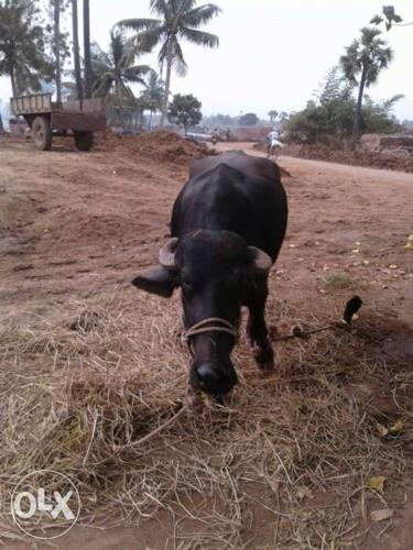 Olx Punjab Buffalo