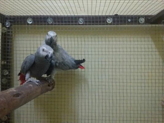 Breeding Pair of African Grey Parrot for Sale in Mumbai, Maharashtra