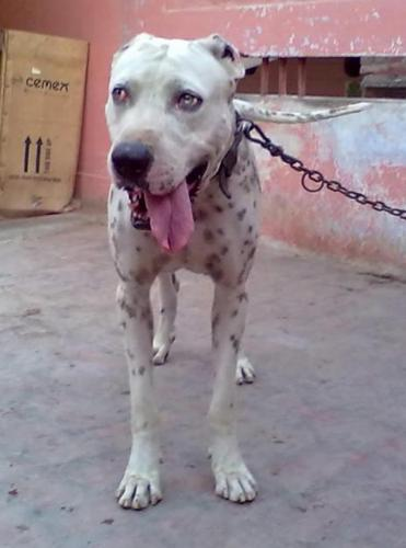 bully kutta puppies bully kutta puppy for sale Quotes