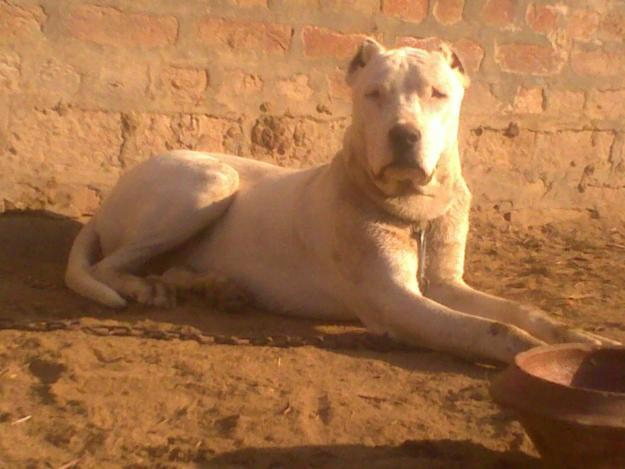 Pitbull dog price in india punjab, pet trainers in azeroth, dog bark