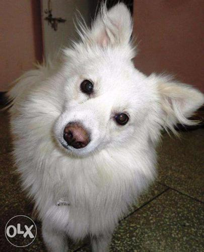 Buy Well Trained 1 5 Yrs Old Spitz Pomeranian Dogs Male Or Female