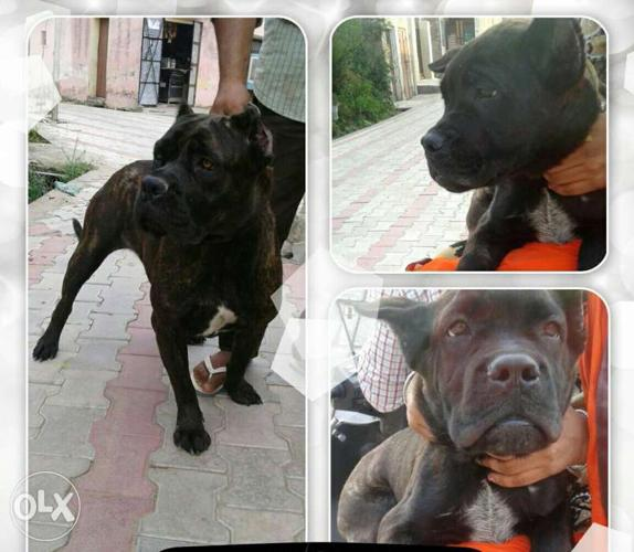 Cane Corso Female Puppy For Sale Imported From Canada For Sale In