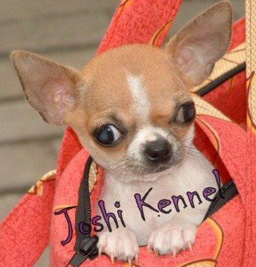 CHIHUAHUA PUPPY AVAILABLE FOR SALE JOSHIKENNEL