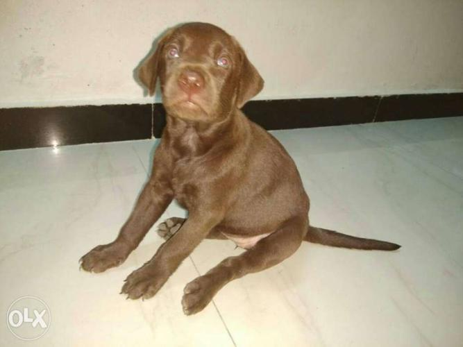 Chocolate brown Labrador puppies for Sale in Coimbatore North, Tamil