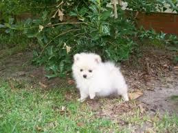 Cute Pomeranian Puppies For Sale For Sale In Tirur Kerala