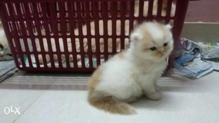 Cute white persain five colors avilable call me