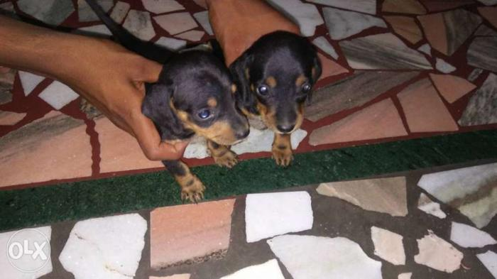 Dachund puppy 29 days old for sale only male