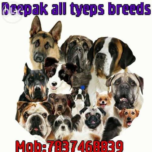 Deepak all tyeps of breed dogs for Sale in Bathinda, Punjab