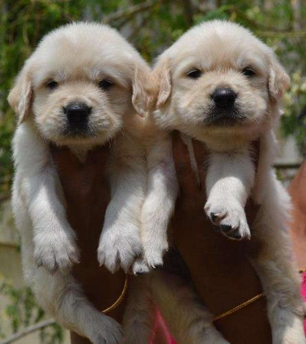 Delightful golden retriever puppies available with