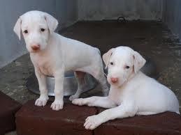 dog sales @ Thirunlveli