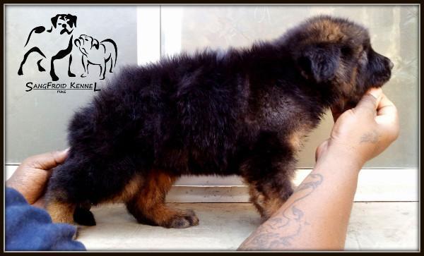 Double Coat German Shepherd Pups For Sale in Ahmedabad
