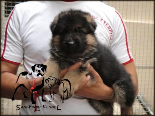Double Coat German Shepherd Pups For Sale In Jalgaon Jalgaon For