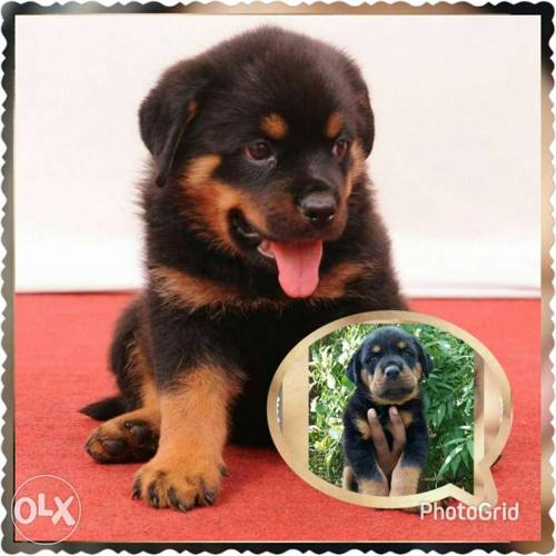 Fantastic quality Rottweiler and Beagle puppies