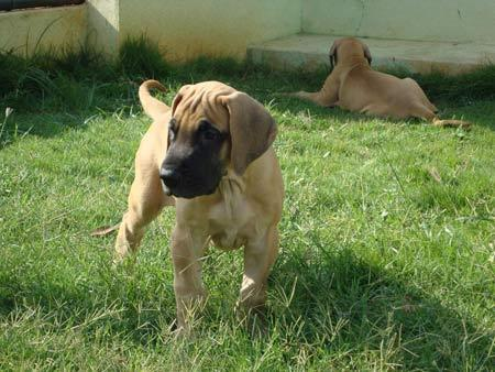 FAWN COLOUR IMPORT GREATDANE PUPPY for Sale in Patna, Bihar Classified