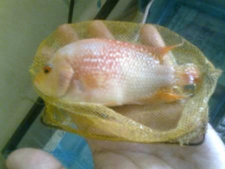 Flowerhorn Baby for Sale (Golden base Faders and Red ...