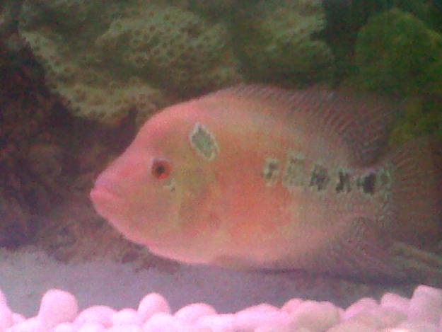 Flowerhorn fish for pair sale at reasonable rate for sale for Flower horn fish price
