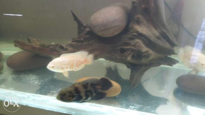 Four oscar fishes for sale