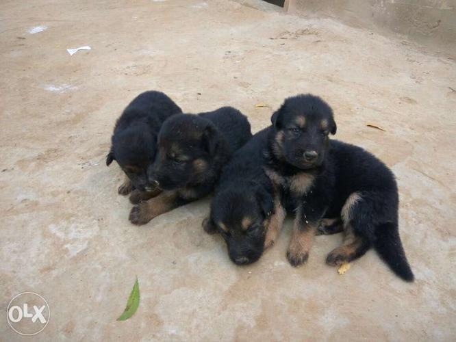 German n lab dog for Sale in Sriganganagar, Rajasthan Classified