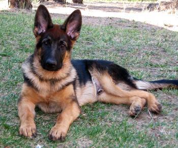 German Shepherd Dog For Sale For Sale In Tirur Kerala Classified