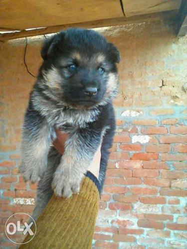 German Shepherd Double Coat Puppy Available In For Sale In Bilaspur