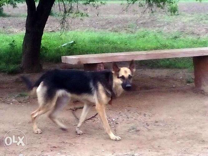 German Shepherd Female Dog