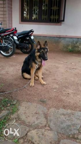 German Shepherd Male For Sale In Kottayam Kerala Classified Indialisted Com