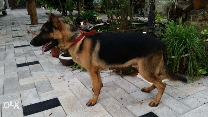 German Shepherd Male Quality Breed 8 Months Kottayam Vaccines Done For Sale In Kottayam Kerala Classified Indialisted Com