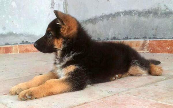 German Shepherd puppies and other breeds for Sale in