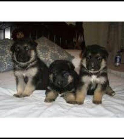 German shepherd puppies for sale for Sale in Hyderabad, Andhra Pradesh ...