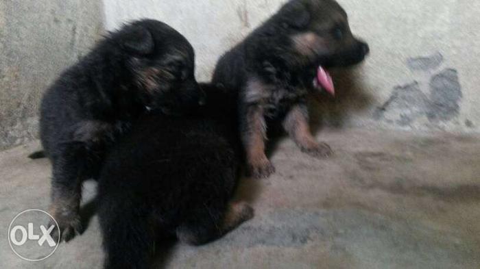 Germen sepherd female puppy available for sale