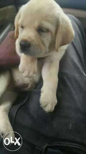 Golden Labrador Male female puppies available for