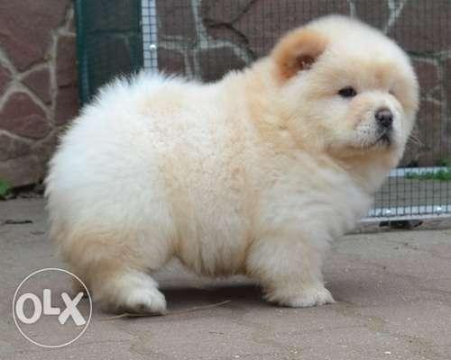Golden Offer Quality Chow Chow Puppies Available For Sale In Lucknow