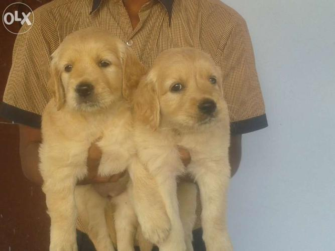 Golden Retriever Female Puppy For Sale In Coimbatore North Tamil