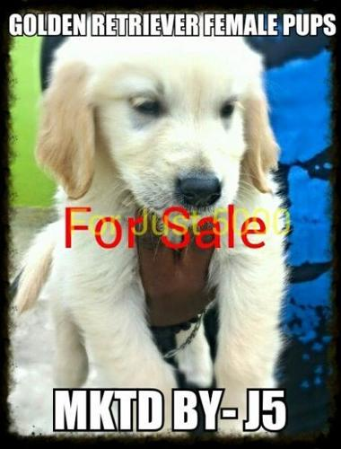 Golden Retriever Puppies Available At Resonable Price Bangalore