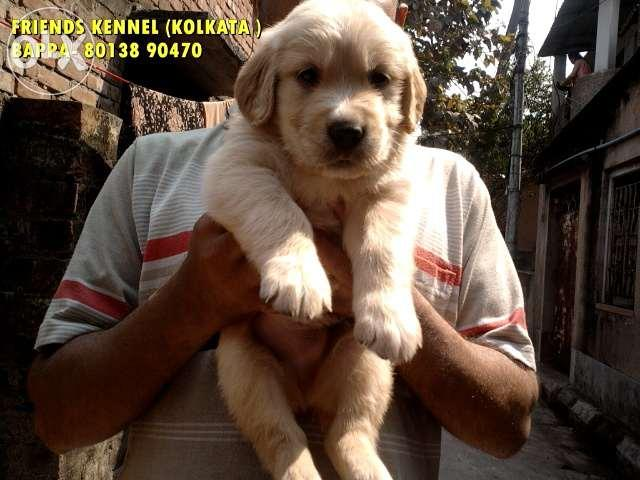 Golden Retriever S Pups Available In Kolkata For Sale In Durgapur
