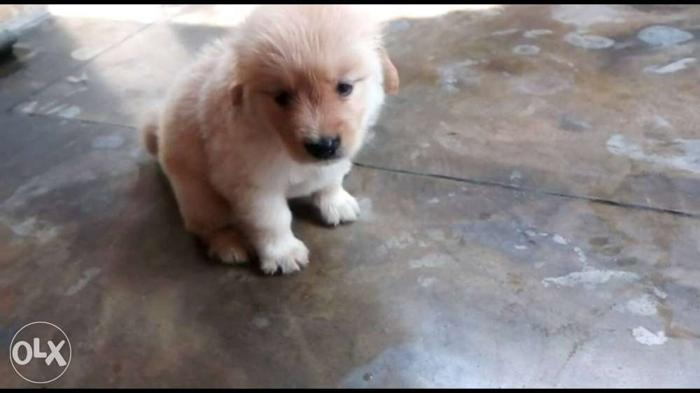 Golden retriver male female and every types of breeds