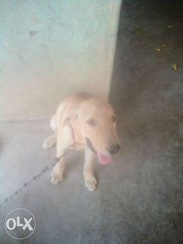 Good condition Four month female Labrador dog