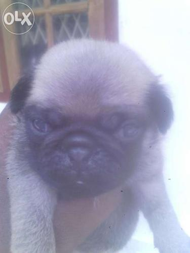 Good quality Pug puppies are available.